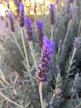 Lavender, stress, nervous system, herb